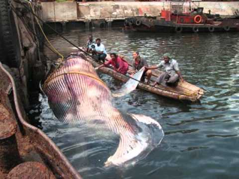endangered species blue whale - YouTube