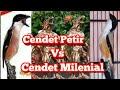 Cendet Petir Bakal Berhadapan Dengan Cendet Milenial  Mp3 - Mp4 Download