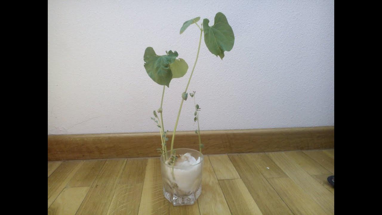 Como plantar alubias lentejas y garbanzos Proyecto