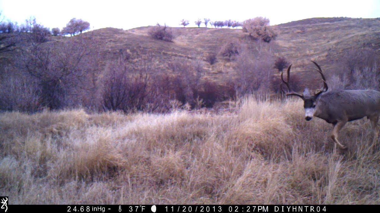 Nice Mule Deer Buck Looking For Does During the Rut - Captured on Browning Trail Cameras