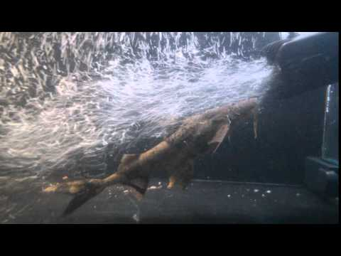 Goonch Devil Catfish - Fish warrior from YouTube · Duration:  58 minutes 55 seconds  · 356 views · uploaded on 1/19/2017 · uploaded by Wild American full