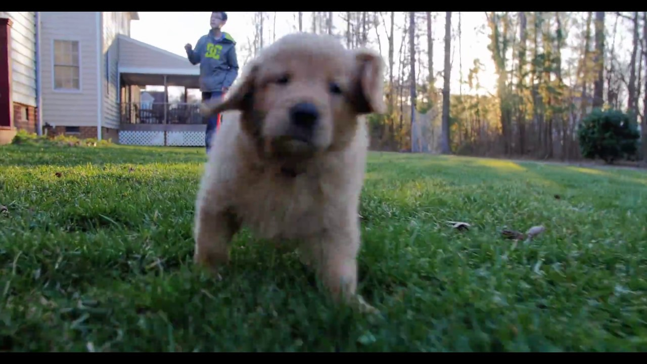 Golden Retriever Puppy Learning To Run Youtube