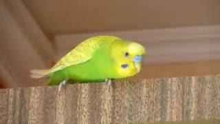 Попугай Тоша первый день на свободе после болезни от клеща***Птицы***