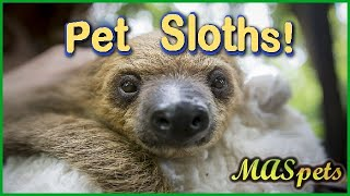 Getting a Pet Sloth   What You Need to Know