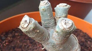 Pruning/Trimming Adeniums