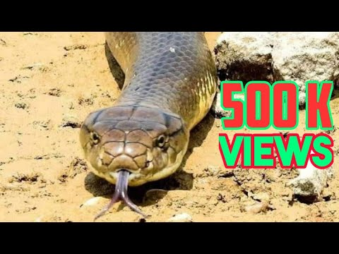 Biggest King Cobra Rescue Operation - Exclusive