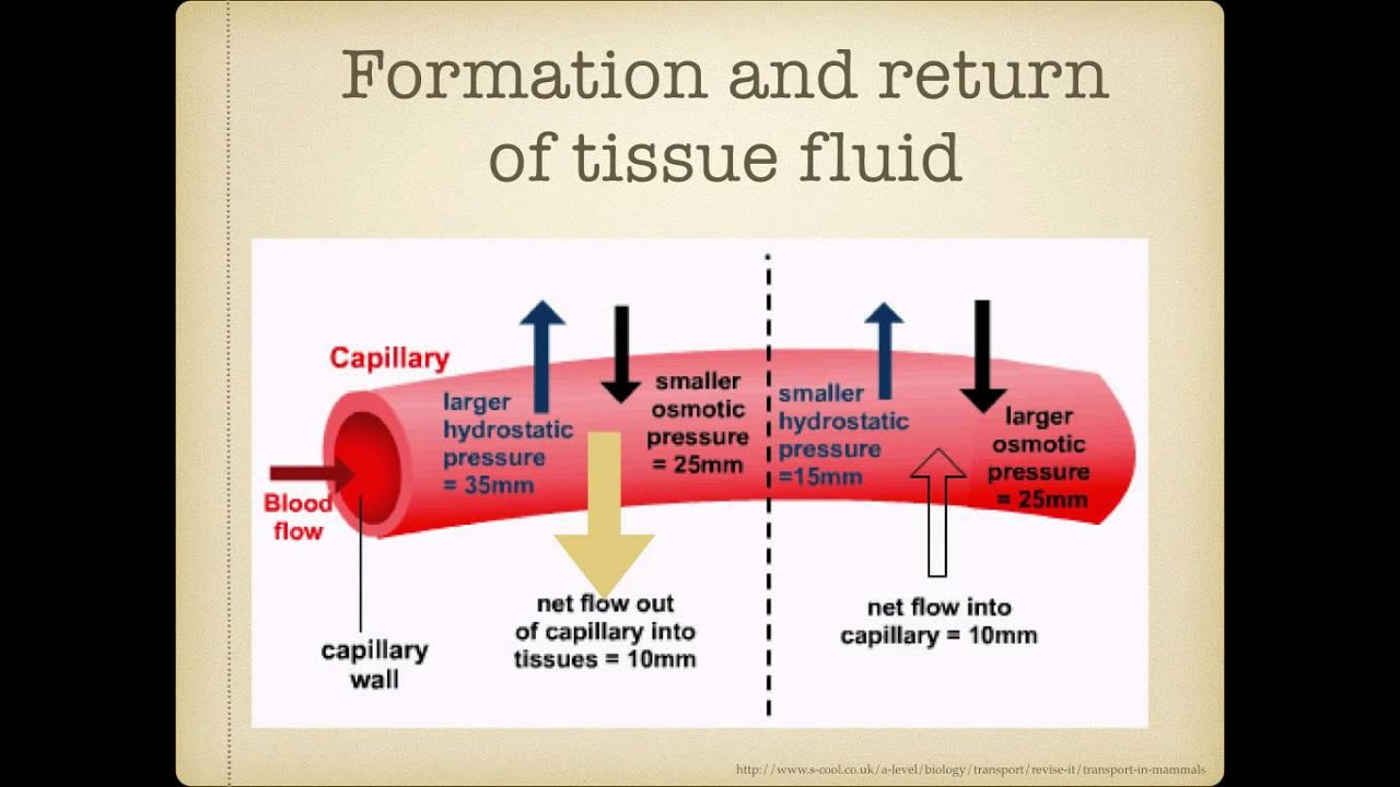 How tissue fluid and lymph is formed: mechanisms 79