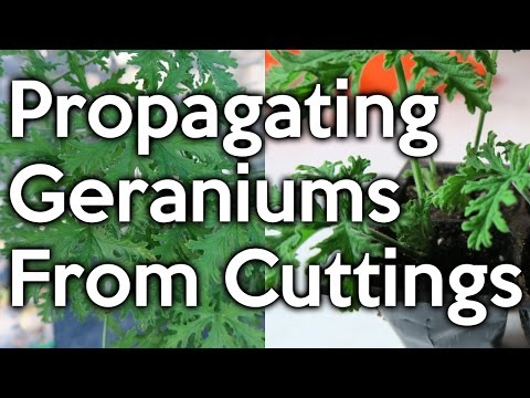 Propagating 'Mosquito' Geraniums