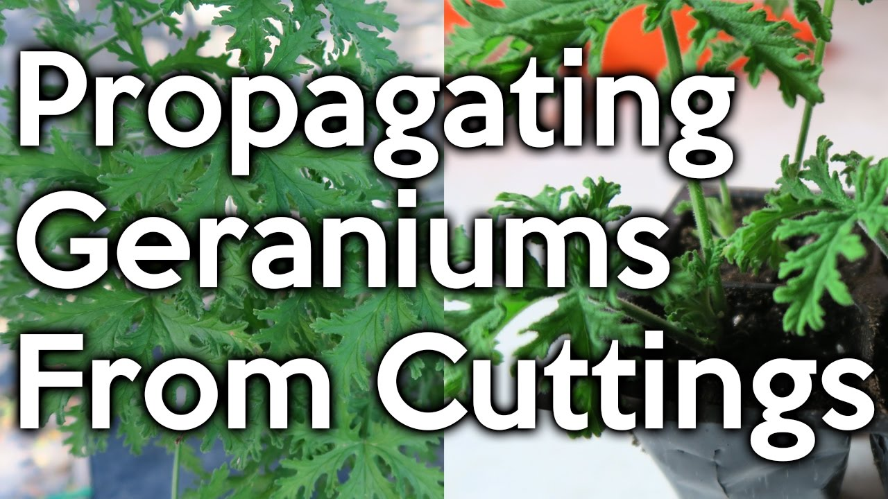 Propagating Mosquito Geraniums Youtube