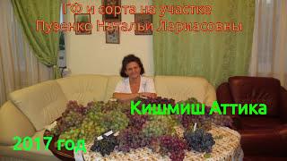 Виноград Кишмиш Аттика сидлис (Пузенко Наталья Лариасовна)