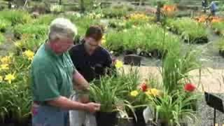 How to Prune Daylilies