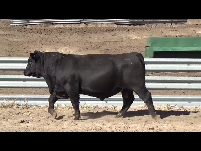 Connealy Angus Lot 121