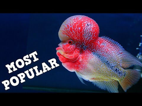 TOP 10 Most Popular Fish In The Aquarium Hobby! Freshwater