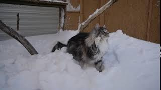 Норвежская лесная кошка Вилма Wilma On Fashion Peak