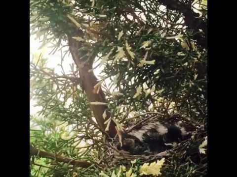 WAW!! Mother Bird Feeding her babies