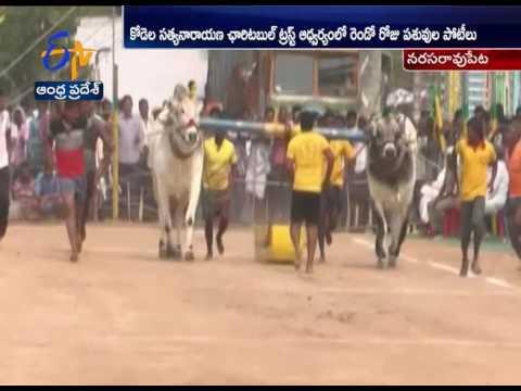 Ongole bull race Continues in Guntur