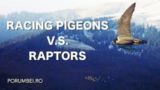 Racing pigeons V.S. Raptors