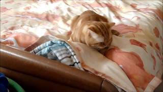 """Контрацепция"" у моих кошек."