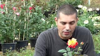 Como podar e cuidar de suas roseiras