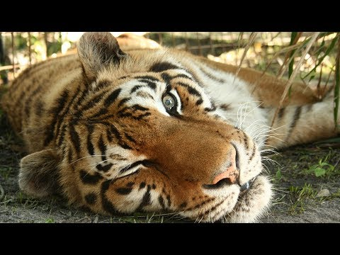 In Loving Memory Of Zeus The Tiger