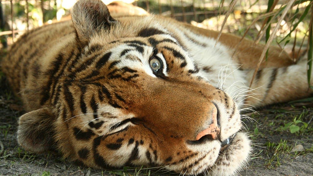 In Loving Memory Of Zeus The Tiger   Big Cat Rescue