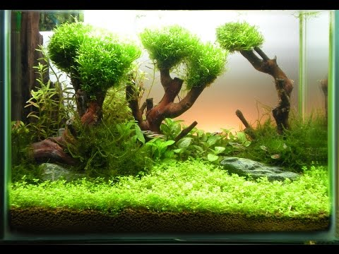 Анубиас и яванский мох выращиваем на коряге Anubias And Java Moss Grow On The Driftwood