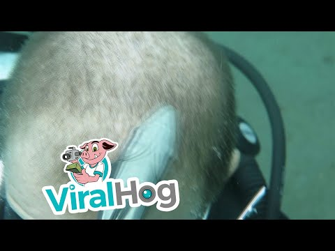 Remora Fish Cleaning the Head of a Diver || ViralHog