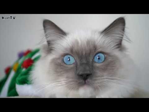 Рэгдолл (Ragdoll) - самая красивая и ленивая порода кошек.