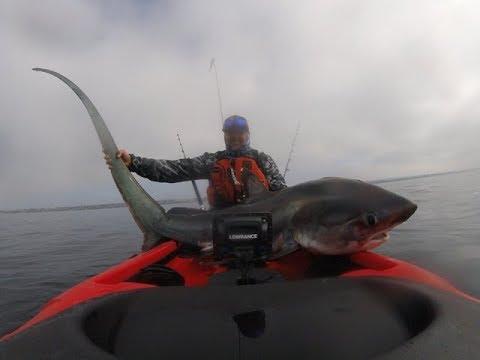 Thresher Shark Oceanside