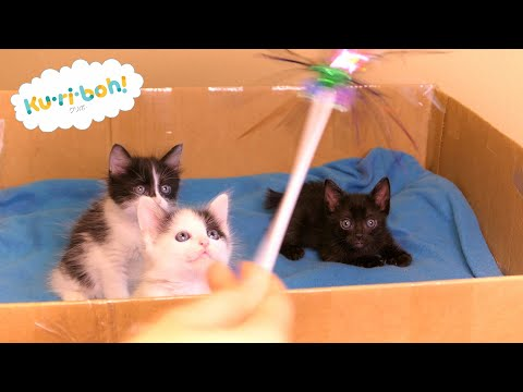 Learning to Play Part 1 ~ 4K Japanese Bobtail Kittens