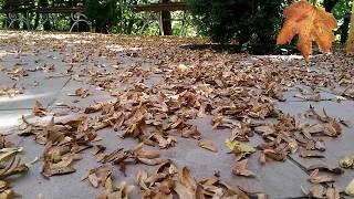 ♫ #Звуки падающих листьев. Осень #АСМР