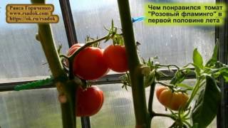 """Чем понравился  томат  """"Розовый фламинго""""  в первой половине лета"""