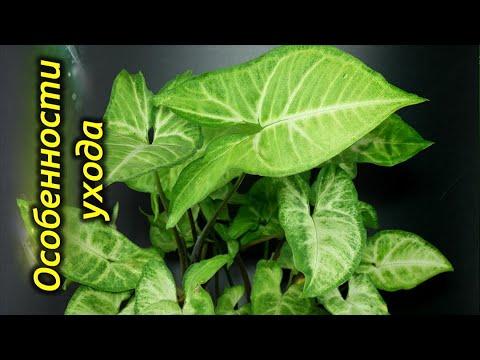 Сингониум – секреты и особенности выращивания.