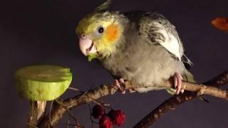 Какой попугай лучше и какая клетка? Сначала думаем, потом покупаем. Выкормыши кореллы. 2 месяца