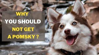 5 Reasons You Should Not Get a Pomsky