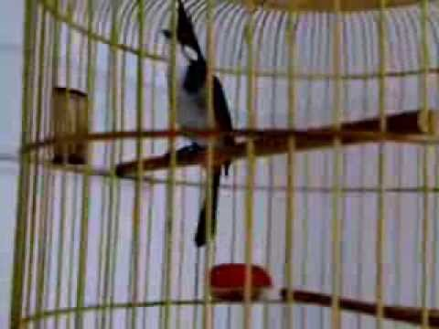 chim chào mào nha trang