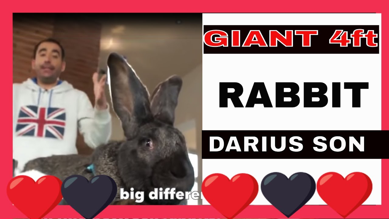rabbits the biggest rabbit in the cunipic world youtube