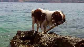 Roko - Cavalier King Charles Spaniel Swimming