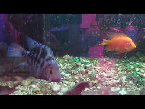Breeding Red Texas Cichlid And Hoping For The Best In 2019