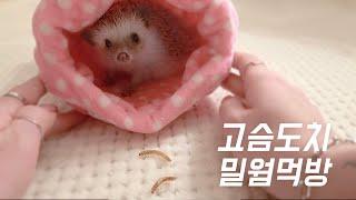 [고슴도치 키우기] 고슴도치 밀웜먹방, 고슴도치 간식,…