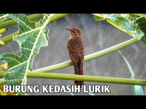 Burung Kedasih Lurik Burung Wiwik Youtube