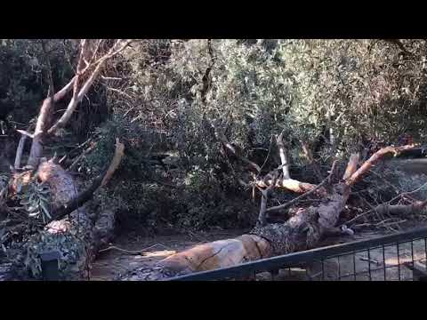 Dev ağaç rüzgara dayanamadı