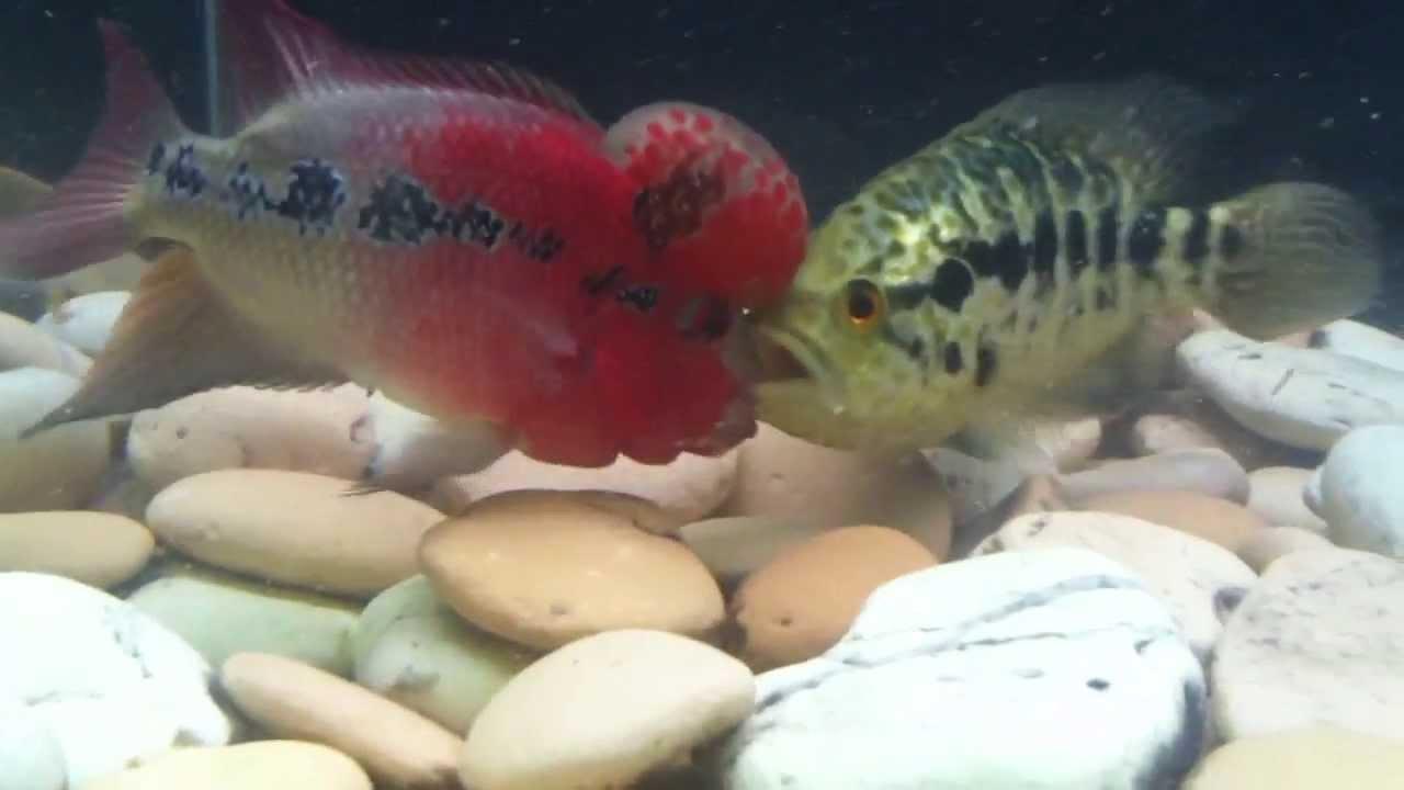 Flowerhorn cichlid: care, size, lifespan, tankmates, feeding