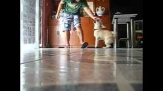 Pug-zu  Nikko Tricks (pug X Shih Tzu)