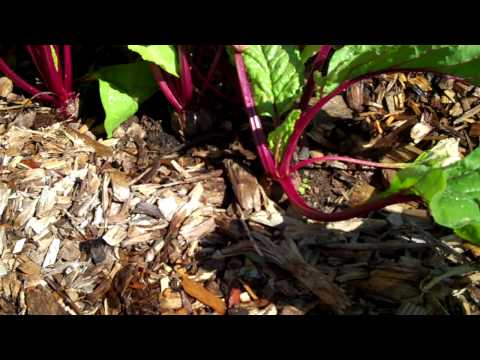 Maui Bees Farm, you pick, organic bio dynamic vegetable garden, picking beets