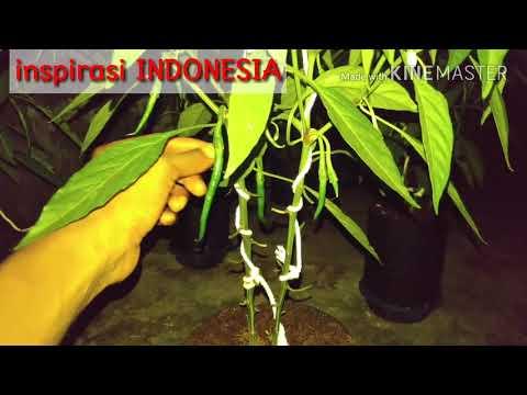 cabai merah keriting part 11 (how to plant hydroponic chilli part 11)