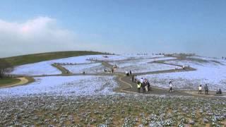 ネモフィラの丘 2014 ネモフィラの丘 検索動画 16