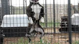 Bully American Bulldog Rocky Of Buffdogs Workout