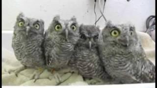 Baby-Eulen - Baby-Owls