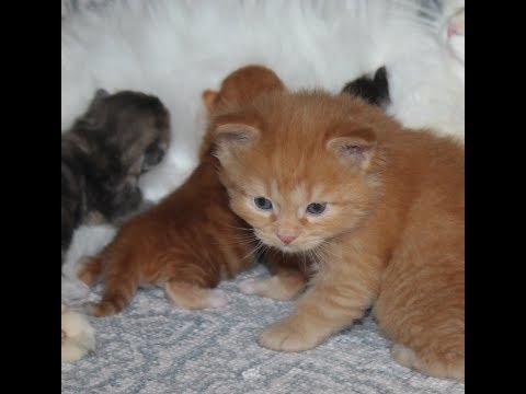 Watching Siberian Kittens Grow